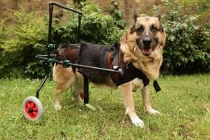 Old German Shepherd dog suffering with arthritis moving about with aid of wheels