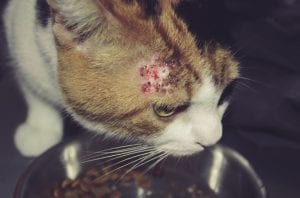 cat with bold patches, skin condition caused by lice, fleas or allergy