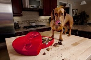 Dog eating chocolates from heart shaped box